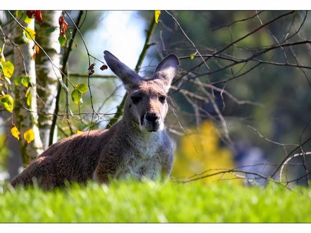 """<img src=""""http://2.bp.blogspot.com/-HlMYB6GCOU0/Uq9i2gS7wqI/AAAAAAAAFzA/QVZDNJ12yhI/s1600/tet.jpeg"""" alt=""""Kangaroos Animal wallpapers"""" />"""