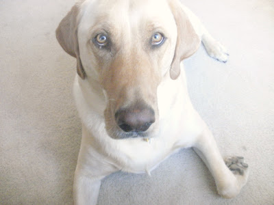 Yellow Lab, Labrador Retriever
