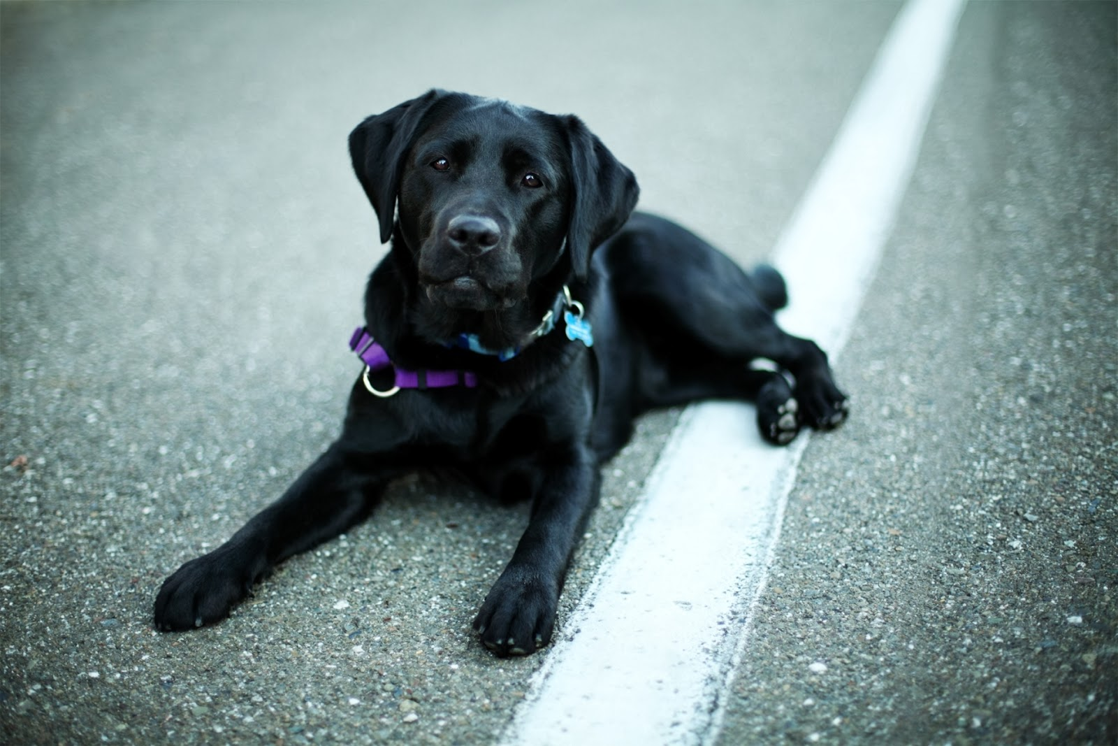 Black labrador retriever wallpaper and facts