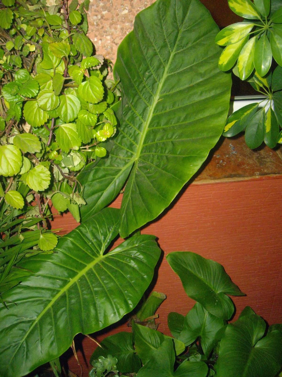 La mar de verde alocasia macrorrhiza o oreja de elefante for Planta ornamental oreja de elefante