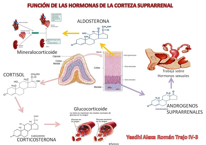 HORMONAS DE LA CORTEZA SUPRARRENAL... | portafolio de evidencias de ...