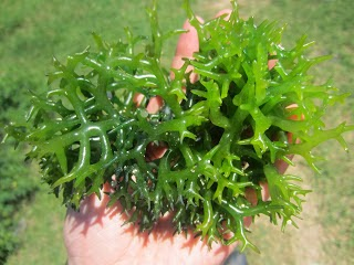 manfaat rumput laut