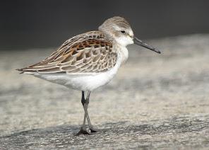 Azores Bird News