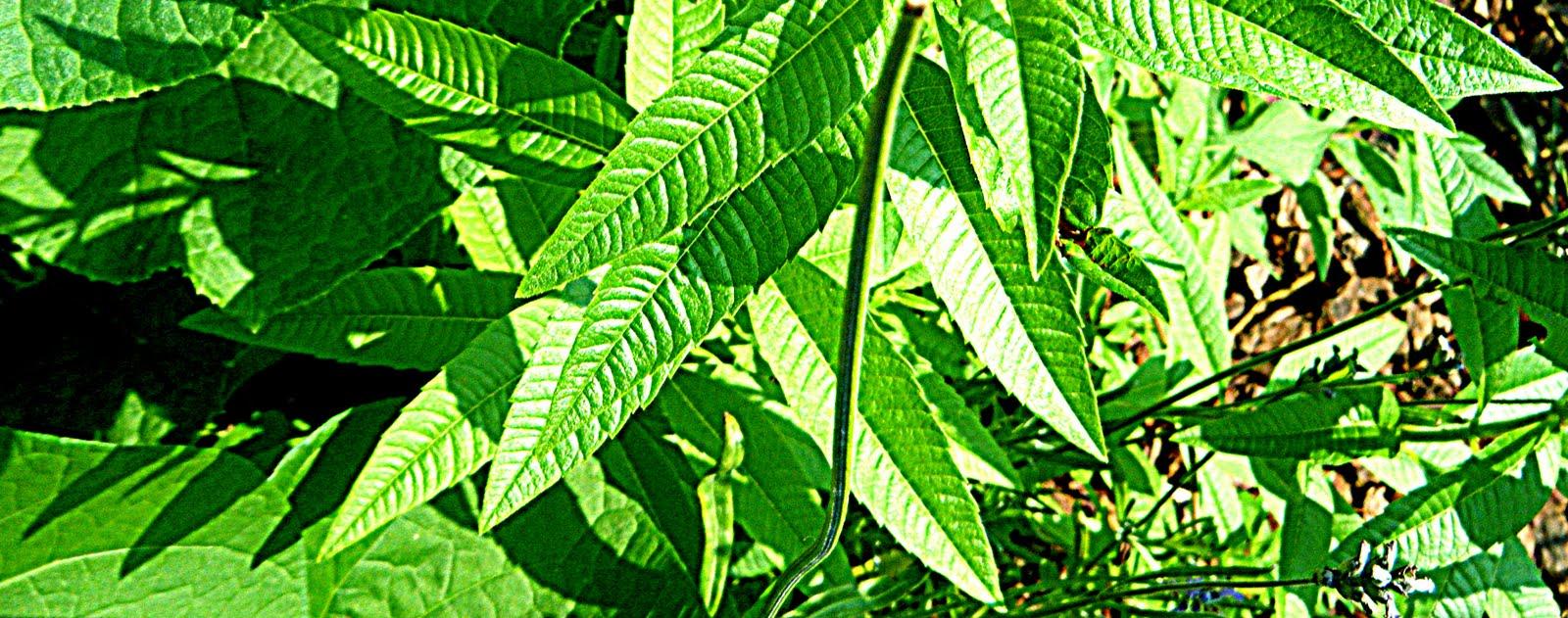 The Urban Herban: Lemon Verbena-Mint Iced Tea!
