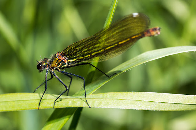Banded demoiselle (female)