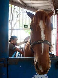 Cavalos receberam atendimento médico e são treinados para serem usados pela PM. (Foto: Maria Anffe/GcomMT)