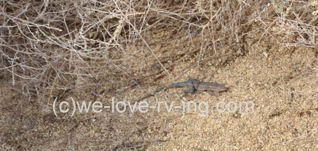 The fringe-toed lizard scurries across the sand