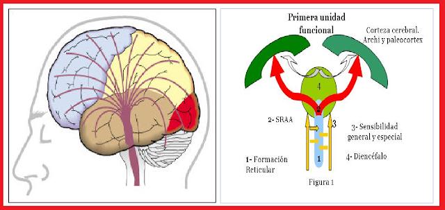Representación del Sistema Reticular Activador Ascendente (SARA), propuesto  como base biológica fundamental de la dimensión Extraversión- Introversión  del ...