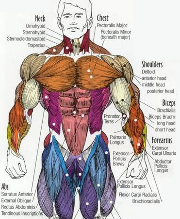 Upper chest muscles anatomy