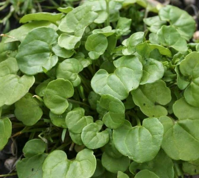 трава для очищения организма от шлаков