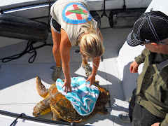 Rescue of a sea turtle who could only float. He's off to the Turtle Hospital.