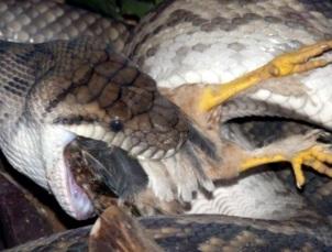 Foto de serpiente comiendo pollo