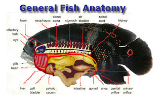 Basic Bony Fish Anatomy Picture