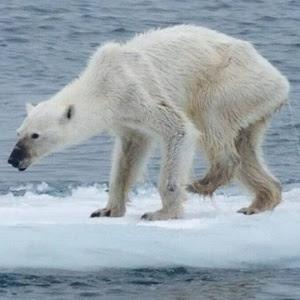 Até 2050 haverá 30% menos ursos polares