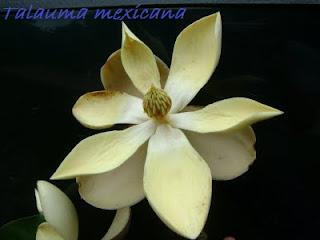 reserva de la biosfera selva del ocote Talauma+mexicana