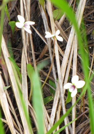 lance leaved violet flower