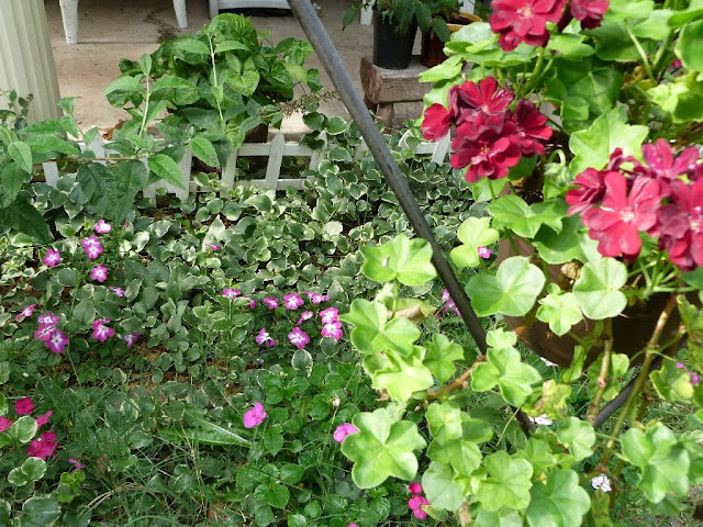 Geraniums and impatiens