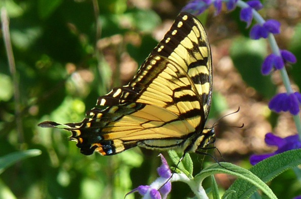Female Tiger Swallowtails Can Also Be Found In A Black Form That Mimics The  Distasteful Pipevine Swallowtail. Females Still Retain Their Tiger Striping  But ...