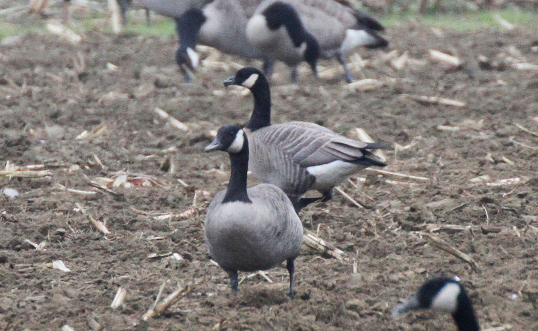 Canada Goose parka outlet authentic - Pioneer Birding: MA - Cackling and White-fronted Geese again ...