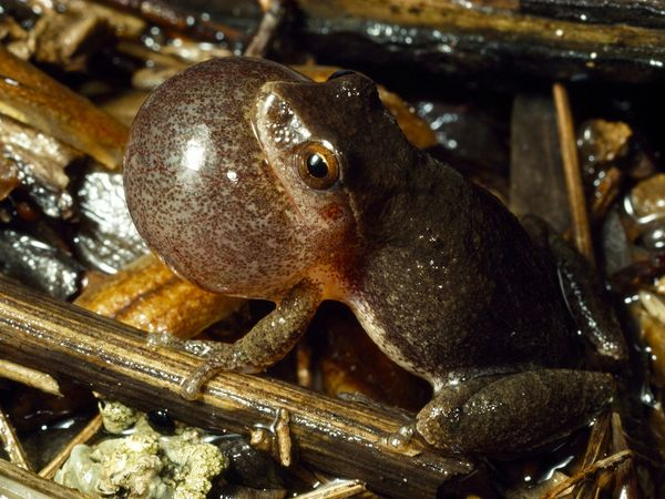 Spring Peeper