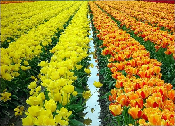 Colorful Yellow - Orange Flowers Row
