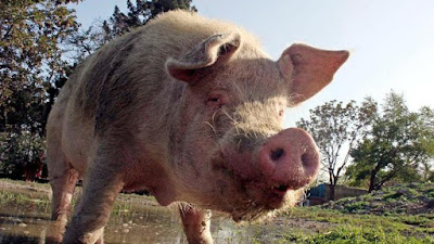Facts about pork