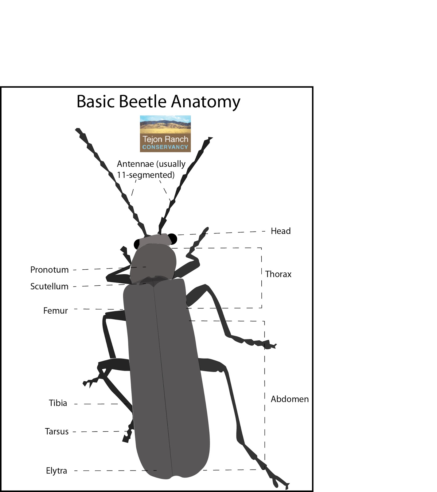 Tejon Ranch Conservancy Blog Wildlife Profile Beetles