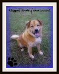 "June 8, 2011 ""beautiful lab/chow mix "" Chapel Needs New Home Georgia"