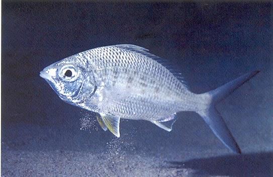 La pesca de huelva lista de peces en huelva for Proyecto de criadero de mojarras