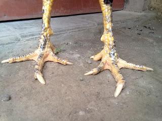 Tips memilih ayam aduan yang bagus dilihat dari warna paruh dan kakinya