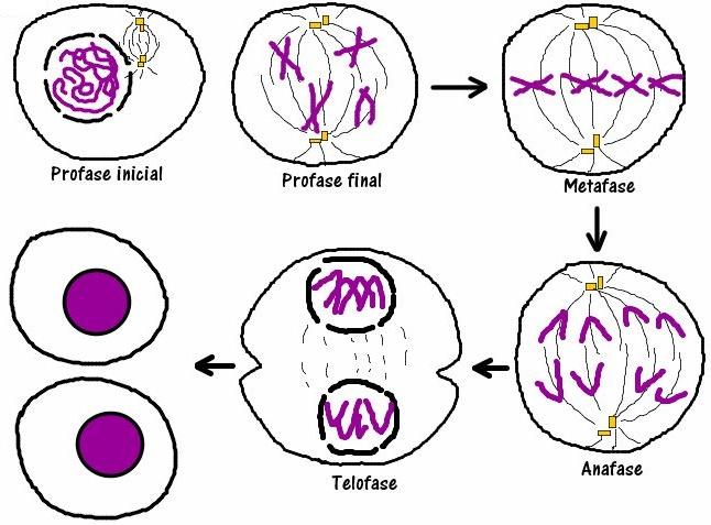 CROMOSOMAS DURANTE LA MEIOSIS ( División de células reproductoras