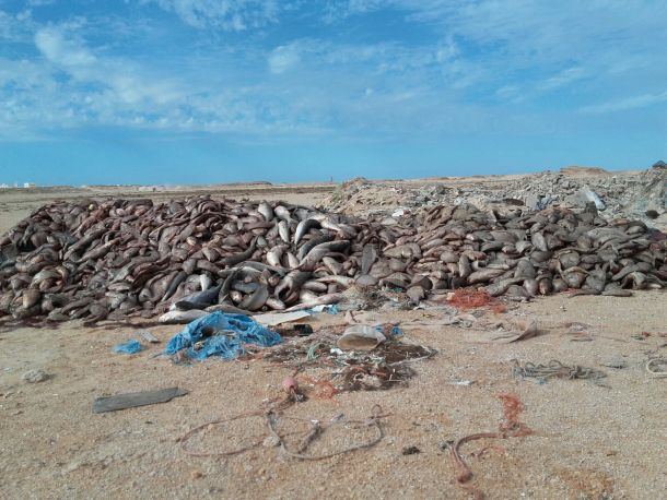 Morocco continues to discard by-catches in occupied Western Sahara