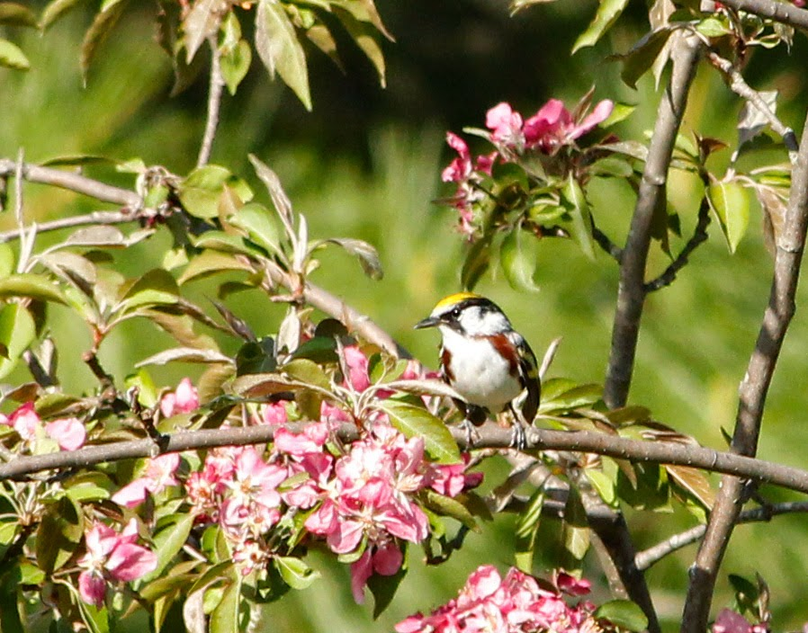 chestnut sided warbler in apple tree