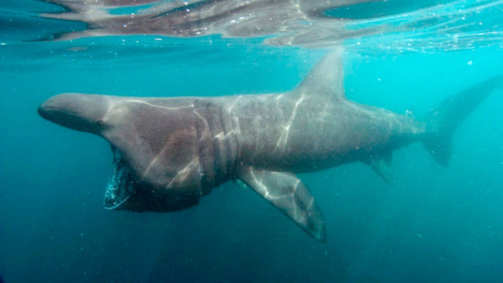Post-Shark Week Progress: basking shark taggings and California's ...