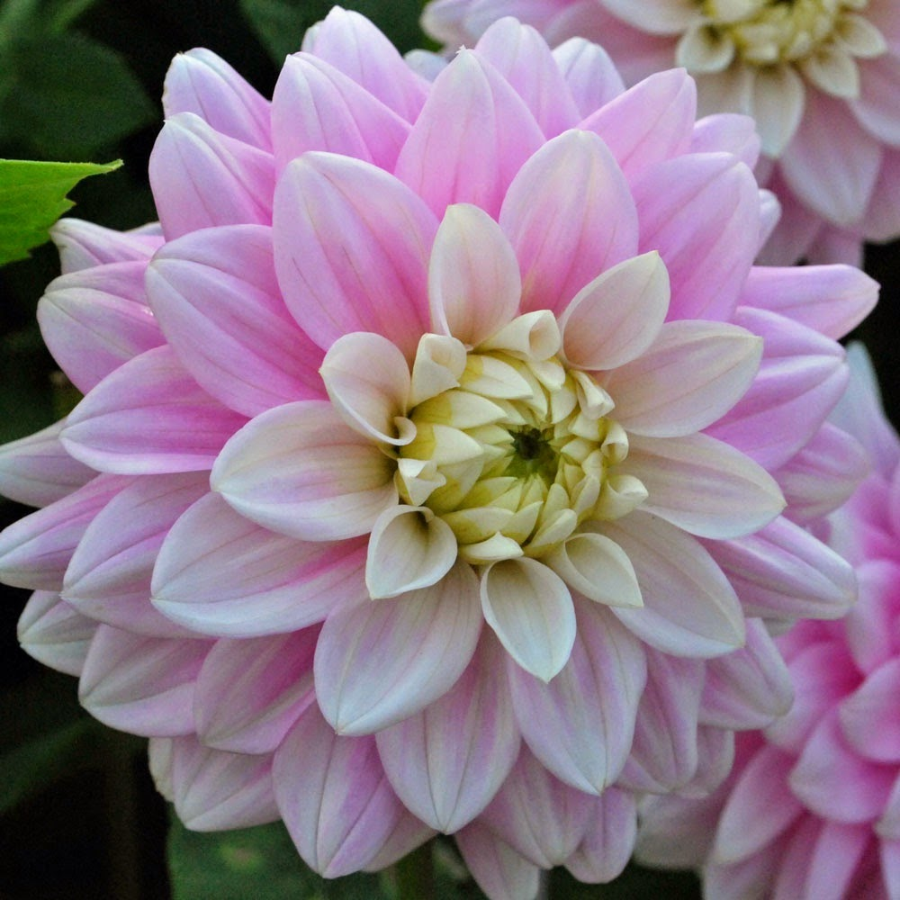 http://www.rosecottageplants.co.uk/dahlia-offshore-dream/p865