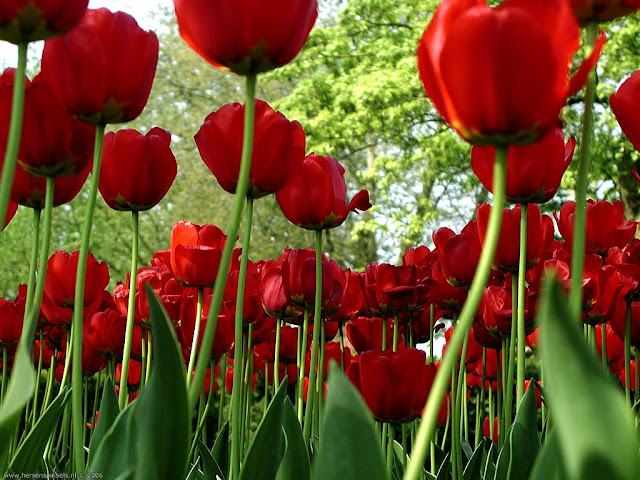 Flores Rojas Wallpapers