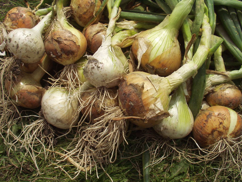 how to grow onions Growing onions from seed is economical, and seed-started onions don't send up  flower stems as often as transplanted bedding onions do.