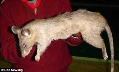 Tikus gergasi Afrika makan bayi