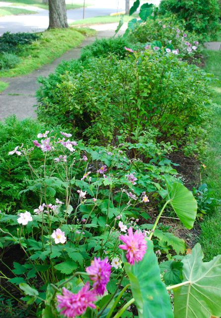 Our Front Walk is all in pink and white this year, which I like as a change from the fiery reds of last year. I bought a mix of pink Dahlias and started them in pots in April. They were planted out into this garden after the big bloom of poppies, allium and catmint died down in July.