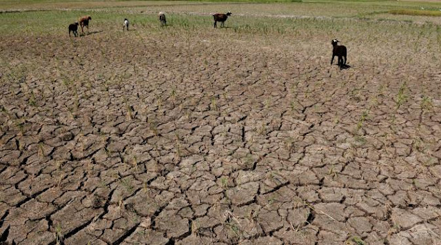 6000 Hektar Padi di Merauke Gagal Panen Akibat Kemarau