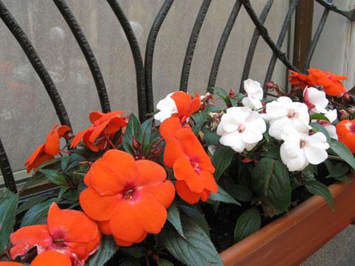 Puna-valko kukkainen kesäkukka asetelma