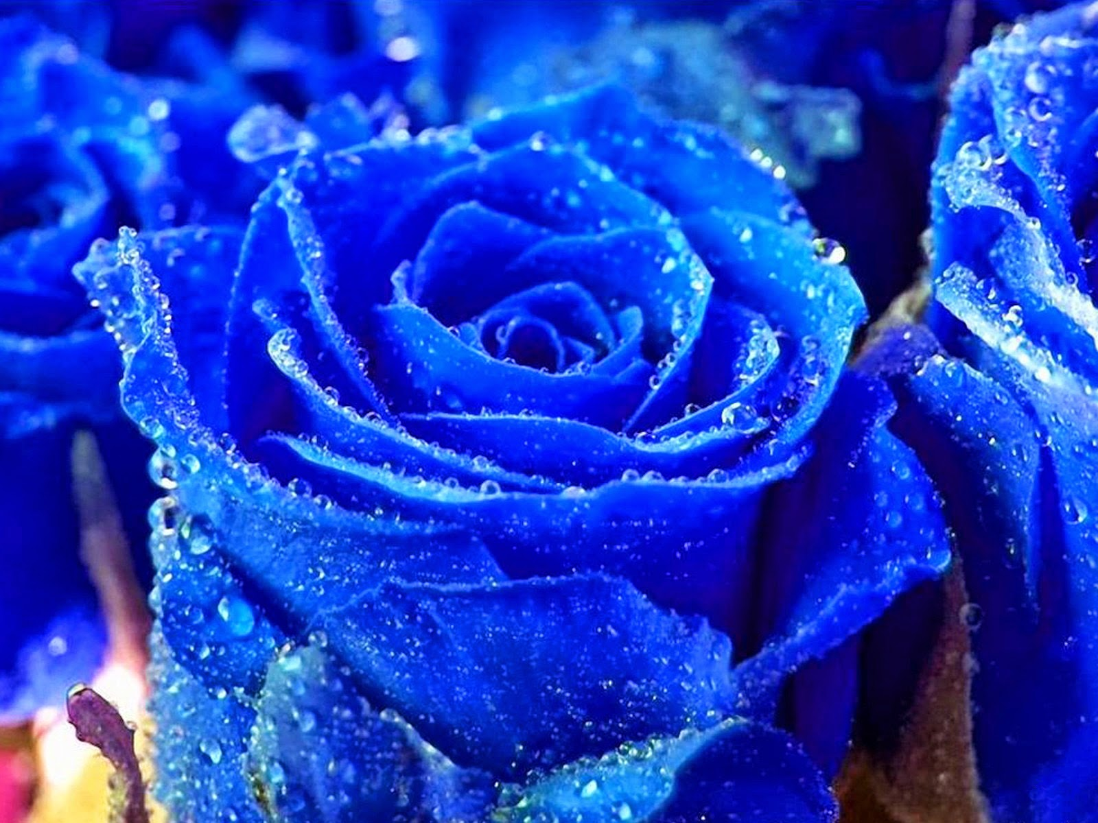 Wallpaper quotes roses wallpapers beautiful blue rose wallpaper allneed roses wallpapers beautiful blue rose wallpaper allneed izmirmasajfo