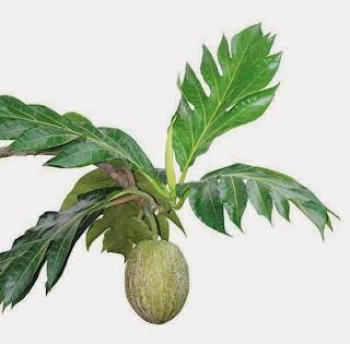 Breadfruit Leaves
