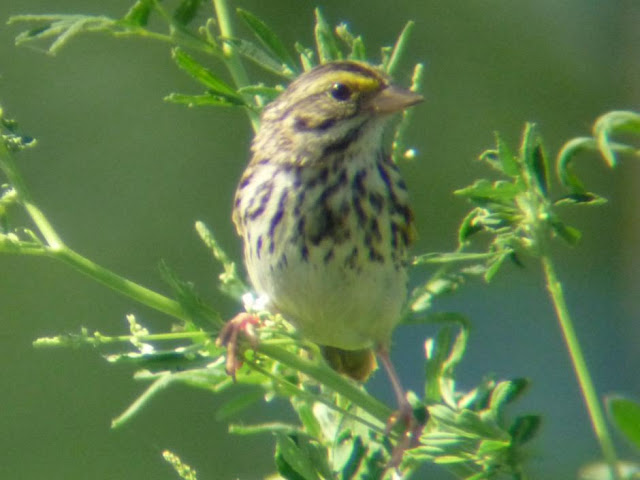Savannah_Sparrow2_-_Sycamore_Jewel