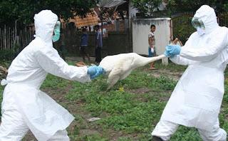عودة إنفلونزا الطيور من جديد مع العام الجديد 2012