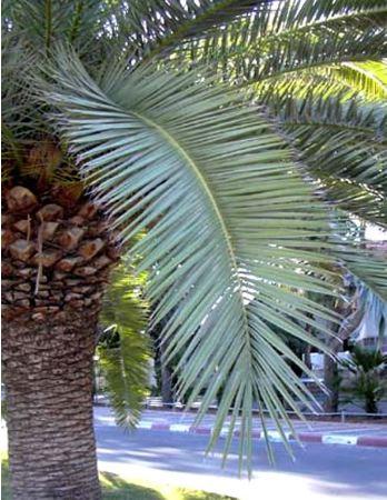 palmier dattier des canaries flore de l le de la r union. Black Bedroom Furniture Sets. Home Design Ideas