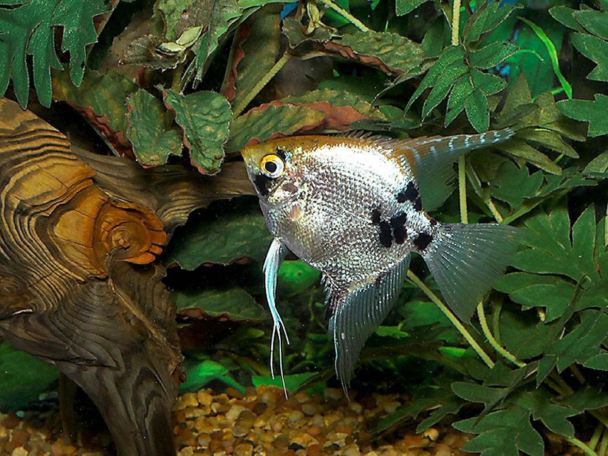 Pembiakan Ikan Guppy
