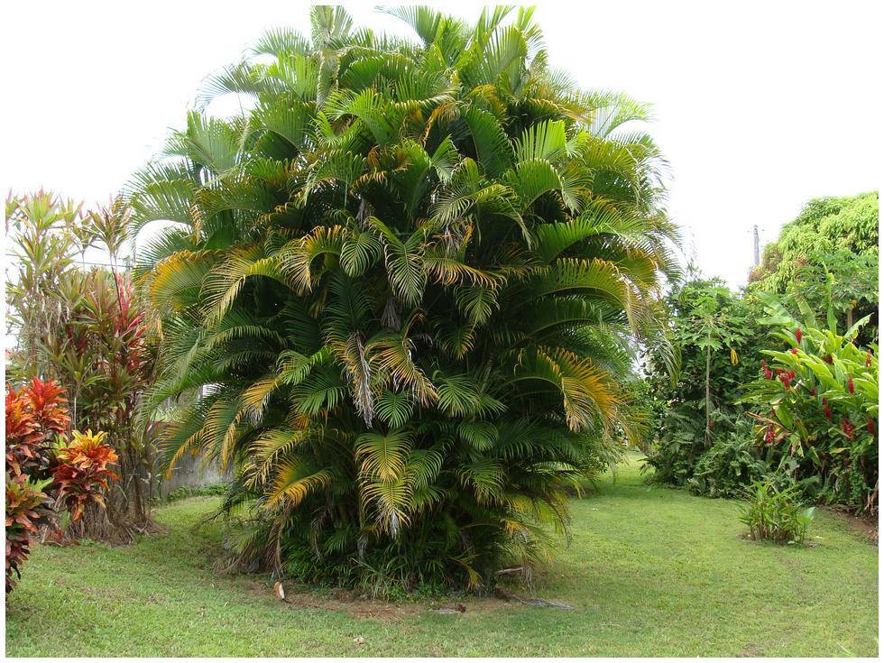 Palmier multipliant flore de l le de la r union Entretien jardin ile de la reunion