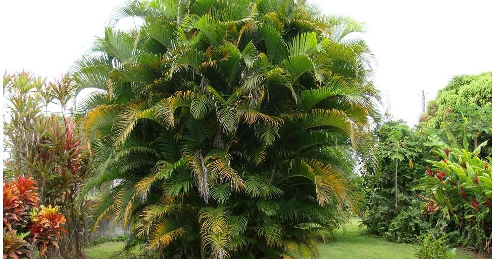 Palmier multipliant flore de l le de la r union - Type de palmier ...