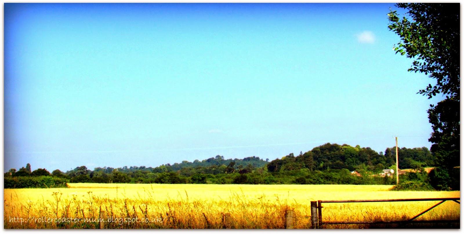 summer cornfield
